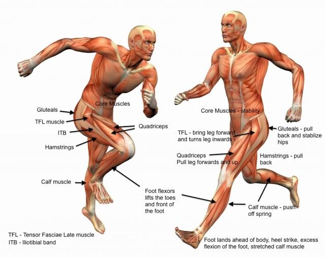 leg-muscles-for-running